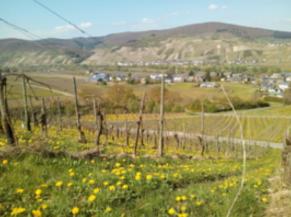 Bo-Weingut Kranz Mosel stellt überzeugende Rieslinge her