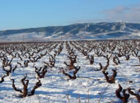 Azabache Rioja Weingarten im Winter