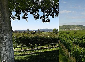 In Heiner Sauer s Weingärten reift der legendäre Grünfränkisch