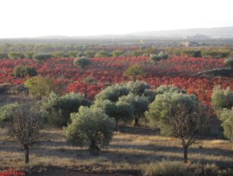 In diesem Weingärten reifen die Bobal Reben für den Rosado Palmera